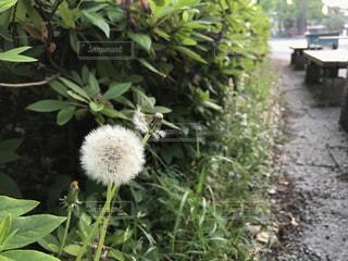 タンポポの綿毛の写真・画像素材[1142374]