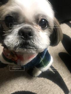カメラを見て小さな白い犬の写真・画像素材[1143421]