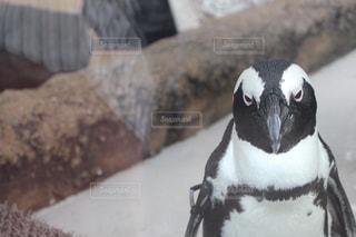 哀愁ペンギンの写真・画像素材[1482671]