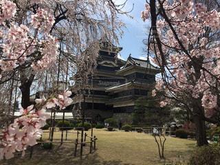 松本城と桜2の写真・画像素材[1144470]