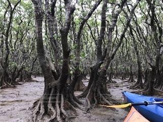 奄美大島のマングローブの写真・画像素材[1144428]
