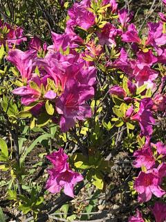 花④の写真・画像素材[1164090]