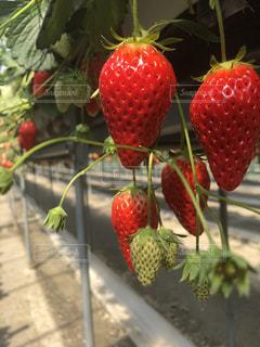 近くに果物のの写真・画像素材[1144647]