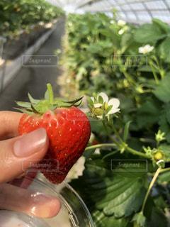 果物を持っている手の写真・画像素材[1144648]