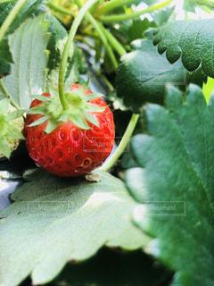 近くに果物のの写真・画像素材[1144650]