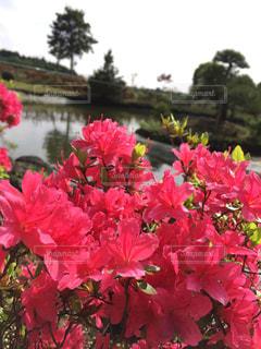 庭園に咲く赤いツツジの花の写真・画像素材[1162746]