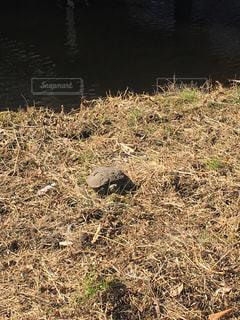 乾いた草のフィールドにいるカメの写真・画像素材[1145768]