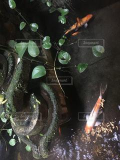 池の鯉の写真・画像素材[1146184]