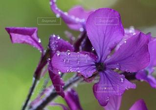 近くに紫の花のアップの写真・画像素材[1145940]