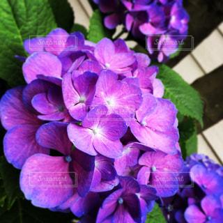 紫色の紫陽花の花の写真・画像素材[1149785]