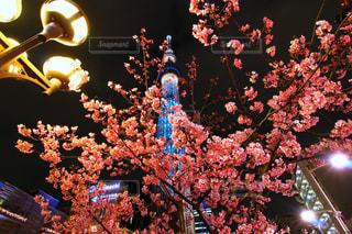 桜の写真・画像素材[372505]