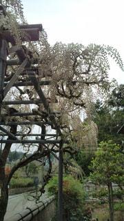 ふじの花の写真・画像素材[1146513]