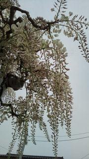 近く雪に覆われた木のアップの写真・画像素材[1146515]