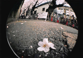 桜並木の写真・画像素材[1043661]