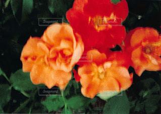 近くの花のアップの写真・画像素材[1054823]