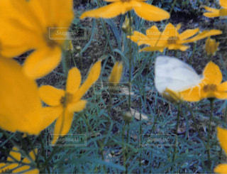 黄色の花の写真・画像素材[1054828]