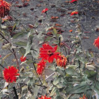 植物の赤い花の写真・画像素材[1054831]