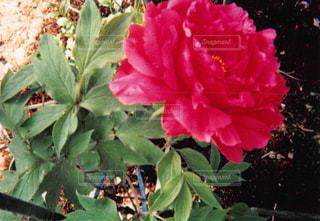 植物の赤い花の写真・画像素材[1054841]