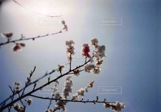 さくらの枝の写真・画像素材[2994622]