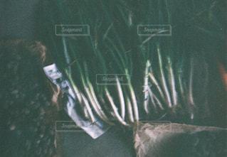 ネギ収穫の写真・画像素材[3199004]