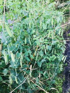 エンドウ豆の写真・画像素材[1164642]