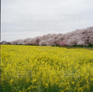 桜と菜の花の写真・画像素材[1151696]
