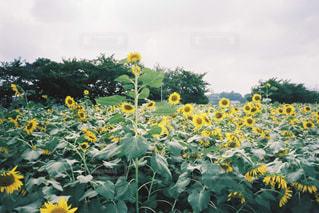 向日葵畑の写真・画像素材[2056992]