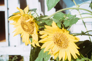 夏の花、ひまわりの写真・画像素材[1372301]