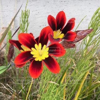 植物の赤い花 - No.1147924