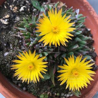 サボテンの花の写真・画像素材[1147925]