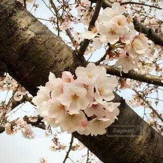白い花をつける木 - No.1147927