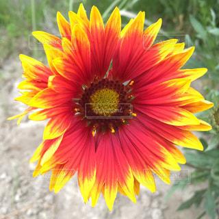 赤と黄色のflower - No.1147936