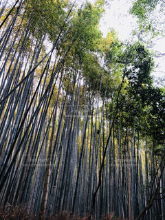 嵐山竹林の写真・画像素材[1208609]
