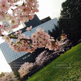 桜の写真・画像素材[1217137]