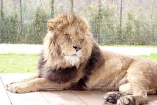 眠っているライオンの写真・画像素材[1156236]