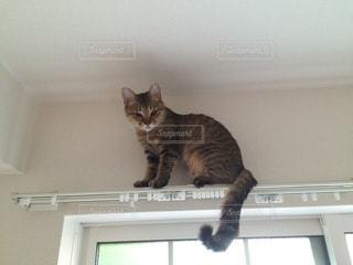 カーテンレールの上に登る猫の写真・画像素材[1167194]