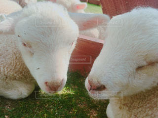 近くに羊のアップの写真・画像素材[1151726]