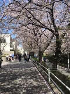桜満開の並木道の写真・画像素材[1150726]