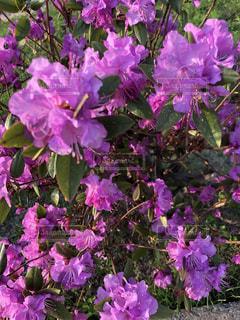 近くに紫の花のアップの写真・画像素材[1152431]