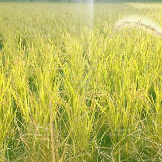 背の高い緑の草の写真・画像素材[1151266]