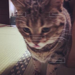 カメラを見ている猫の写真・画像素材[1259286]