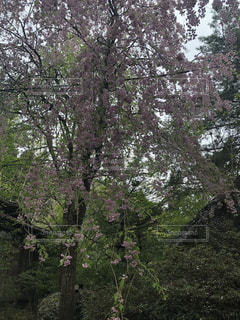 森の大きな木の写真・画像素材[1151363]