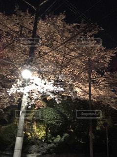 夜桜の写真・画像素材[1151622]