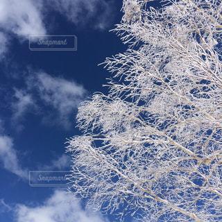 雪山の晴れ空の樹氷の写真・画像素材[1153017]