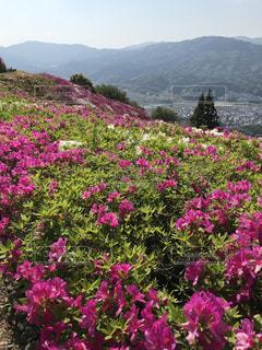 背景の山の紫の花の写真・画像素材[1167980]