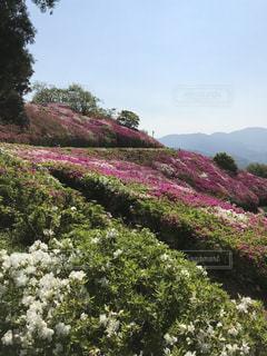 紫色の花と緑の茂みのグループの写真・画像素材[1461476]