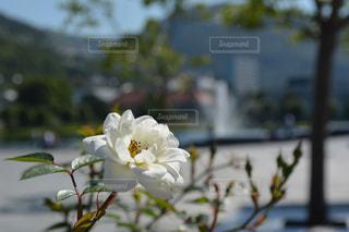 ベルゲンの白い花の写真・画像素材[1153412]