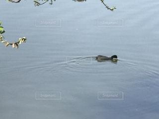水の体に浮かぶカモの写真・画像素材[1153876]