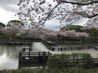湖畔の桜の写真・画像素材[1155165]