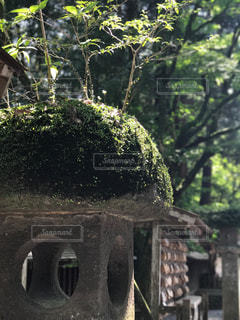 石燈籠に生えた木の写真・画像素材[1155211]